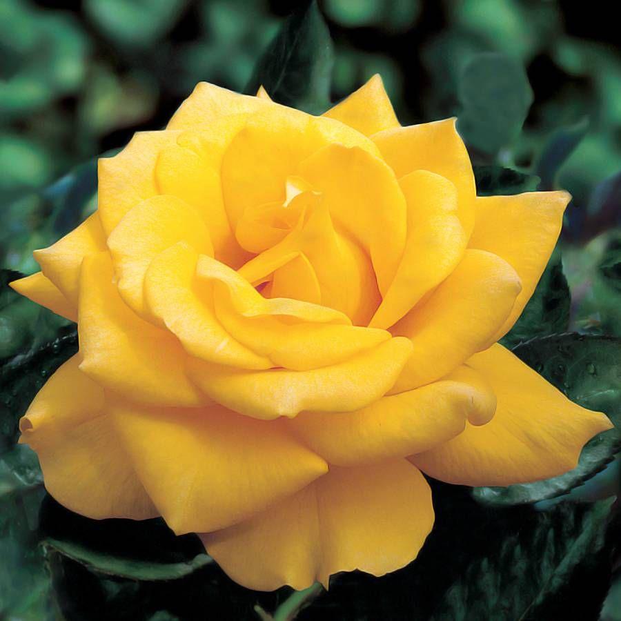 Henry Fonda Hybrid Tea Rose Image
