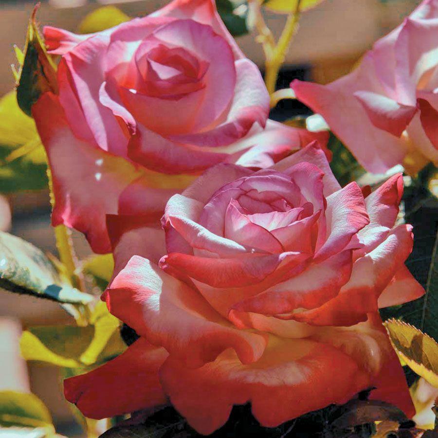 Gemini™ Hybrid Tea Rose