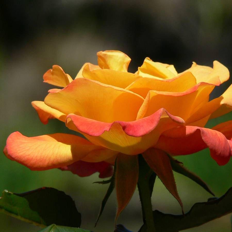 Rio Samba™ Hybrid Tea Rose
