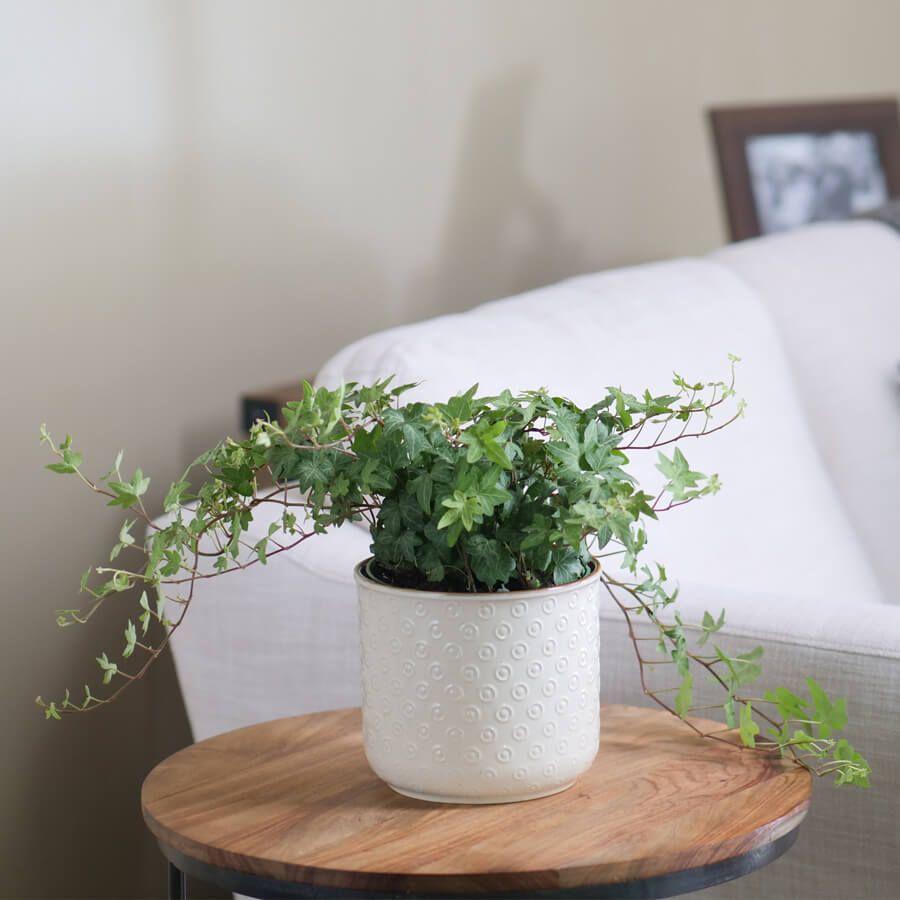 English Ivy Houseplant Image
