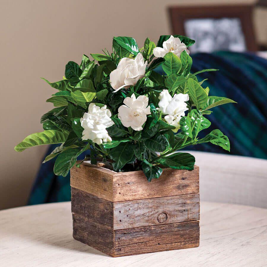 Gardenia in Reclaimed Wood Image