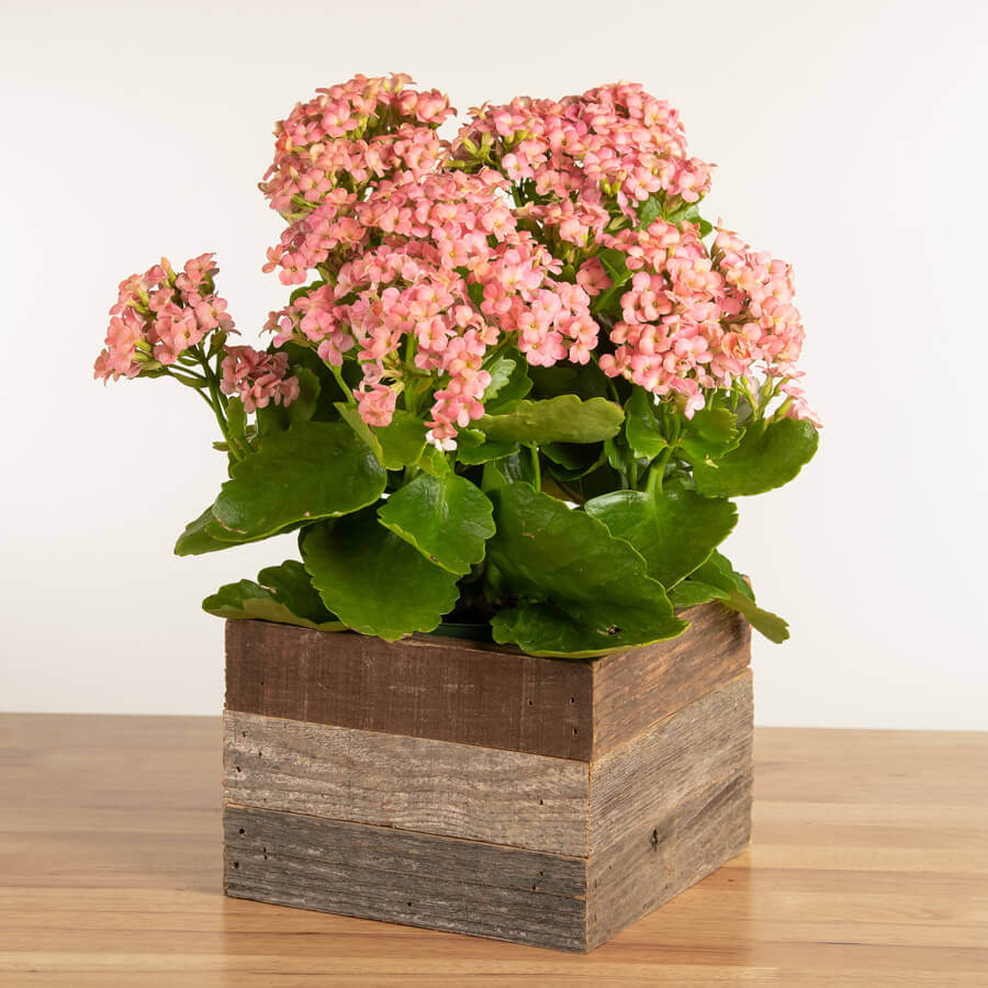 Pretty Pink Kalanchoe Plant in Reclaimed Wood Image