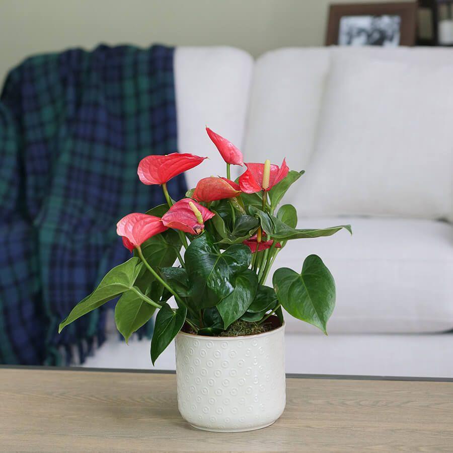 Red Anthurium Image