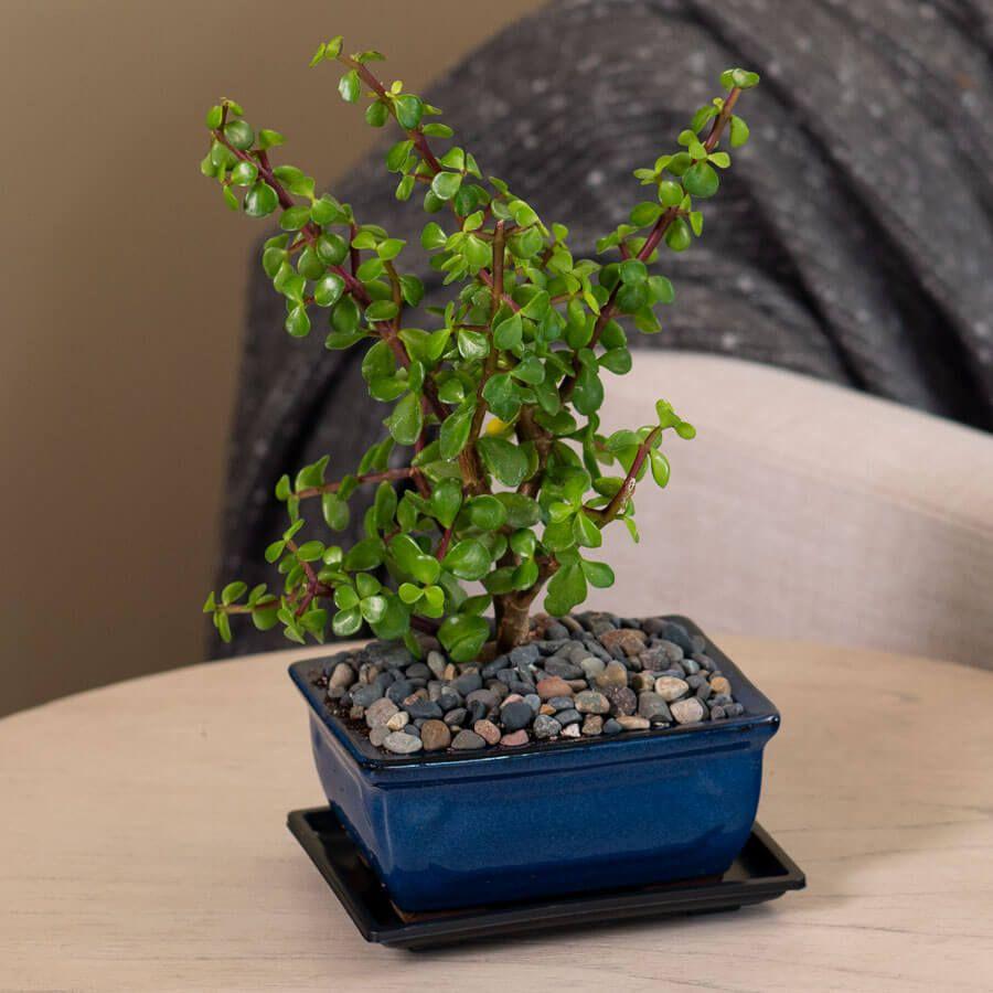 Jade Bonsai Image