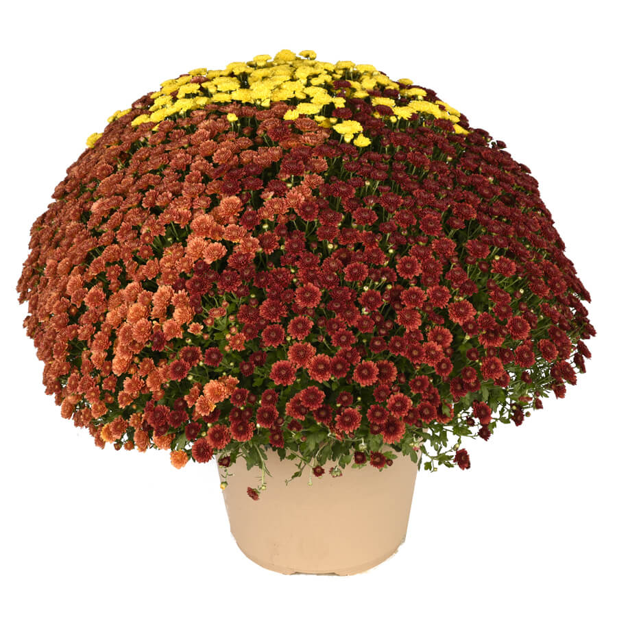 Blooming Block Rhonda™ Color My Fall™ Mum Mix Image