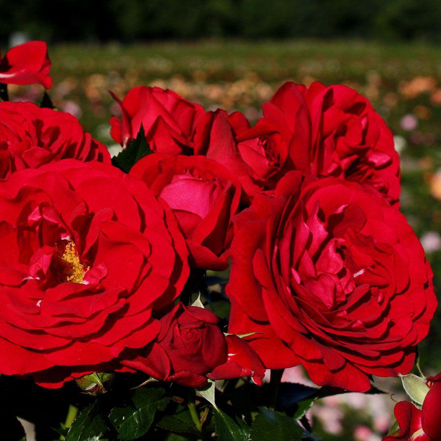 Bordeaux Citiscape Floribunda Rose