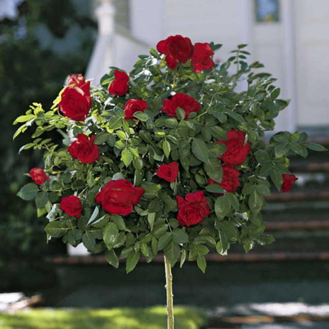 Black cherry floribunda rose at jackson and perkins for Garden rose trees