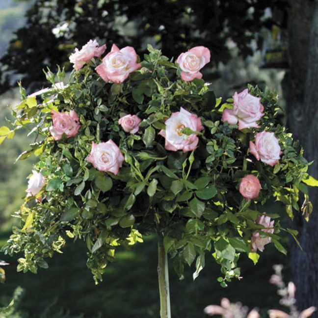 Crescendo® 36-Inch Tree Rose Image