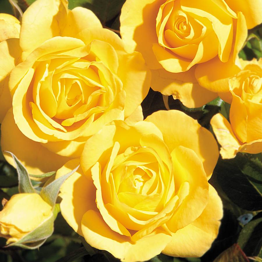 Walking On Sunshine Floribunnda Rose