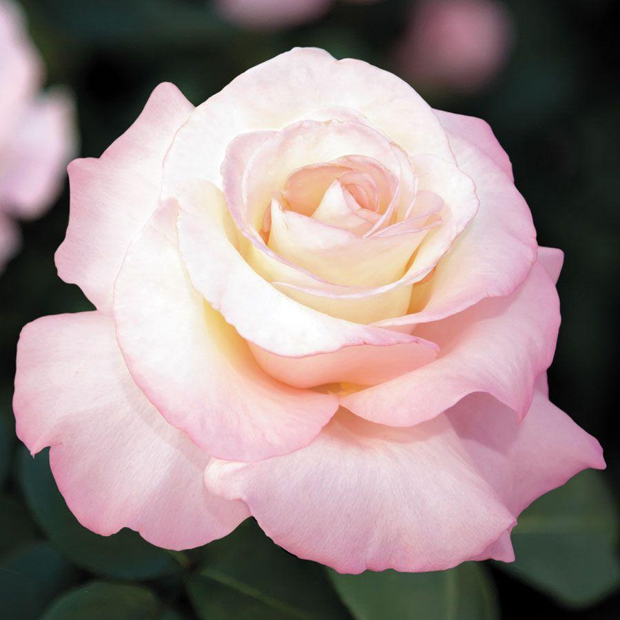 Crescendo® Hybrid Tea Rose Image
