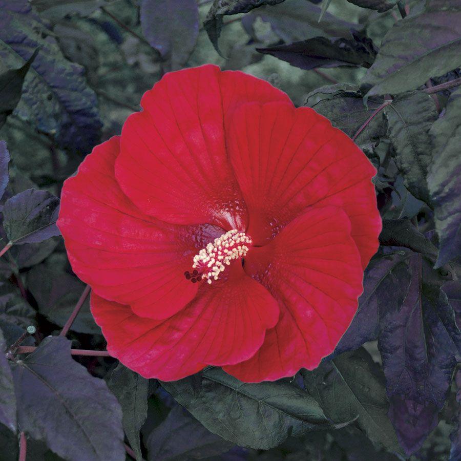 Hibiscus 'Midnight Marvel' Image
