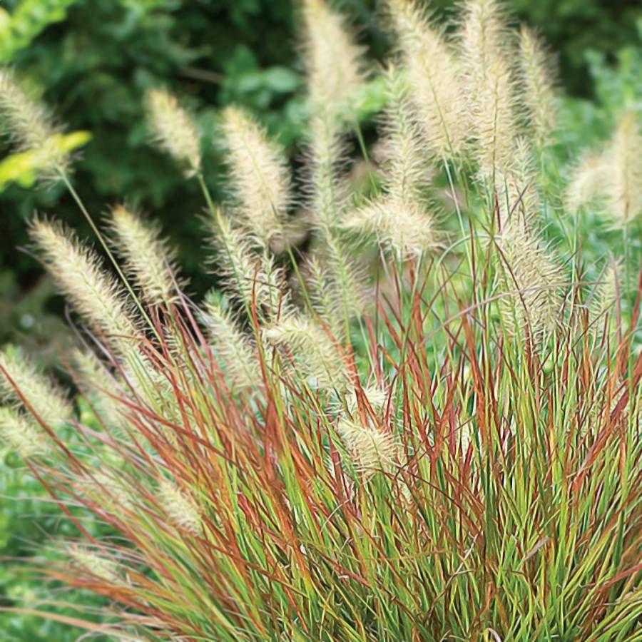 Burgundy Bunny Fountain Grass