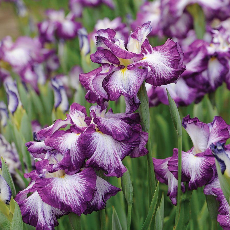 Lion King Iris cristata Dwarf Crested Iris Plant Image