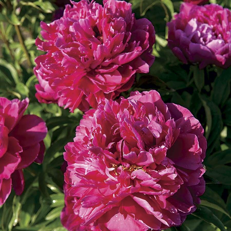 Paeonia 'Karl Rosenfield' Image