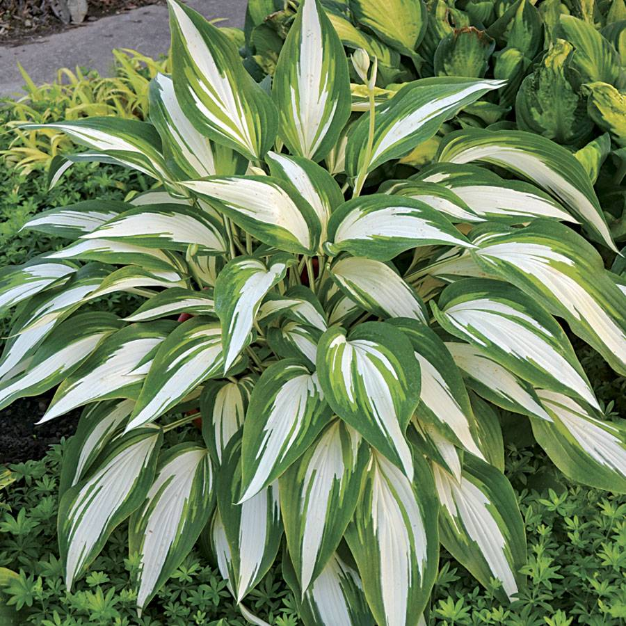 Hosta Cool As A Cucumber From Jackson Perkins