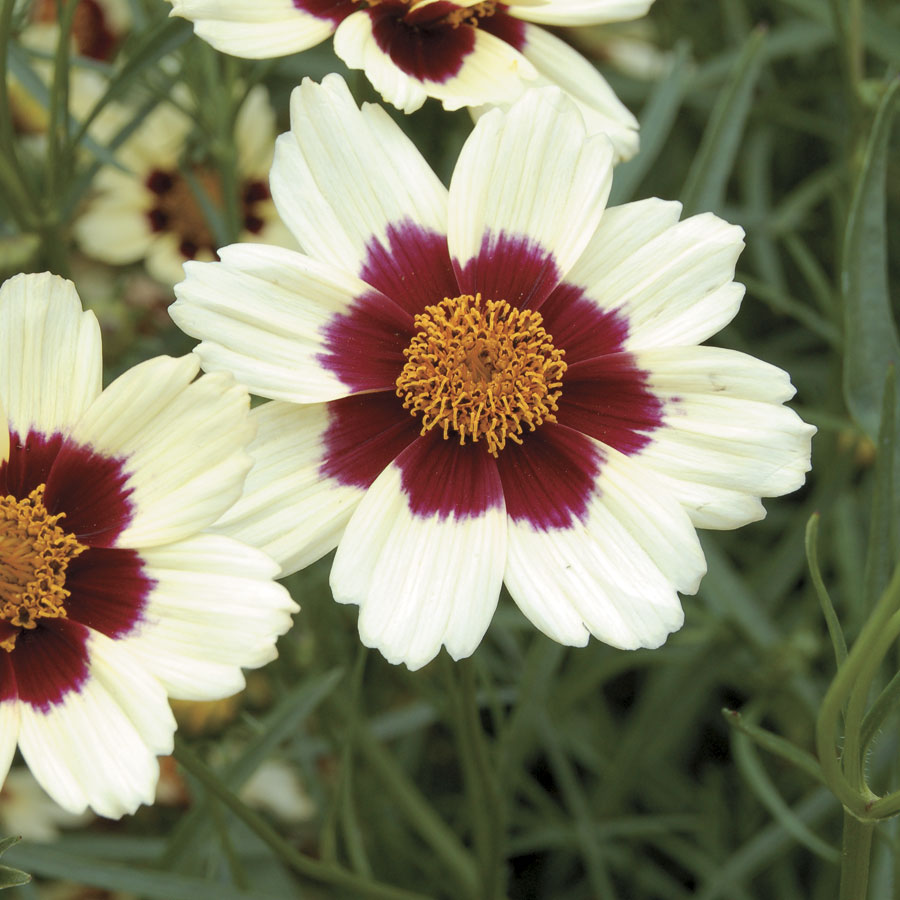 Coreopsis Perennial Plants Grow Amazing Tickseed Flowers Jackson