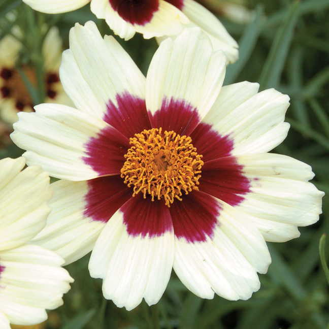 Snowberry Coreopsis Tickseed Plant