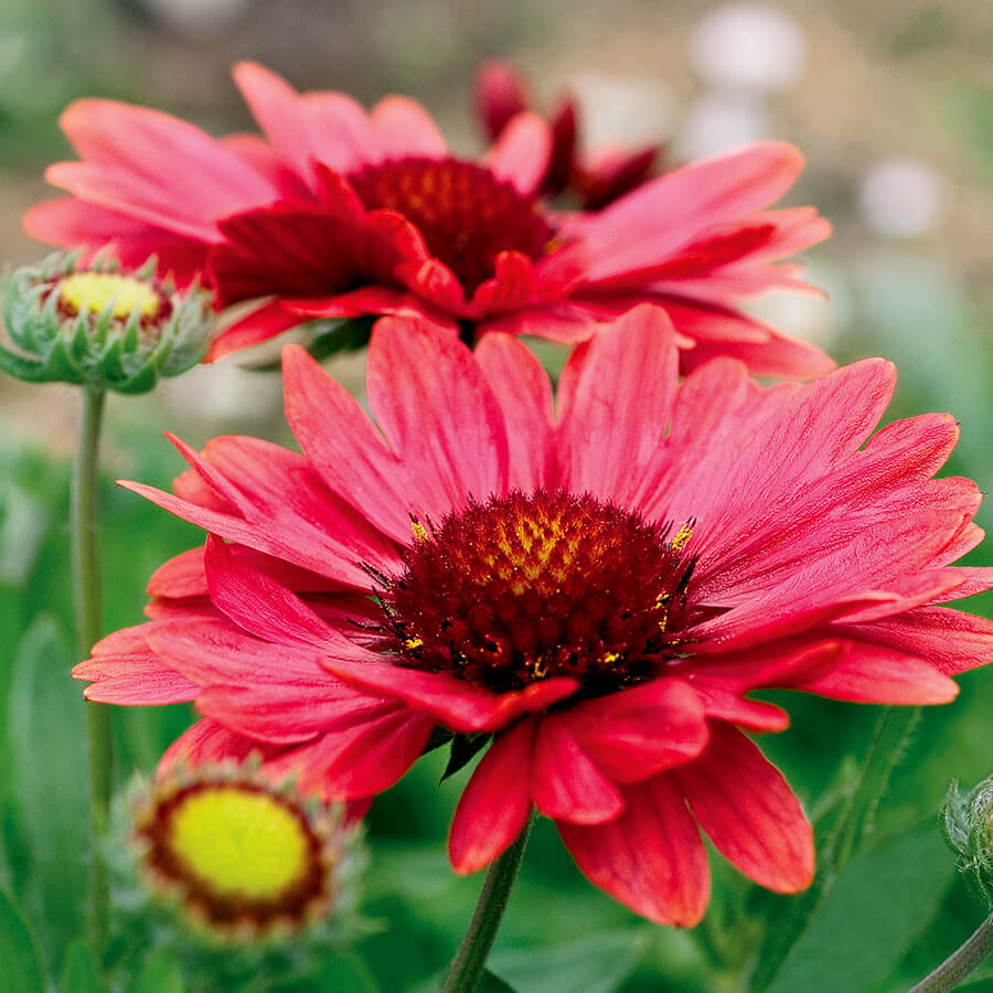 Arizona Red Shades Gaillardia At Jackson Perkins