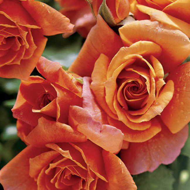 Disneyland 24-Inch Tree Rose Image