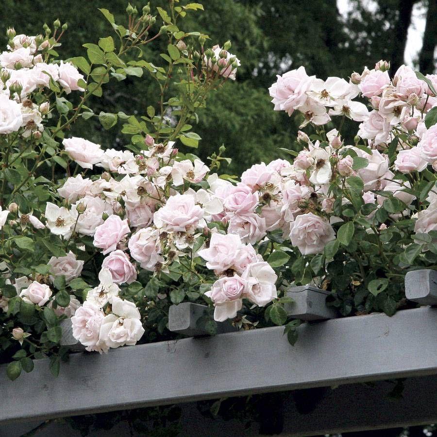 New Dawn Climbing Rose Image