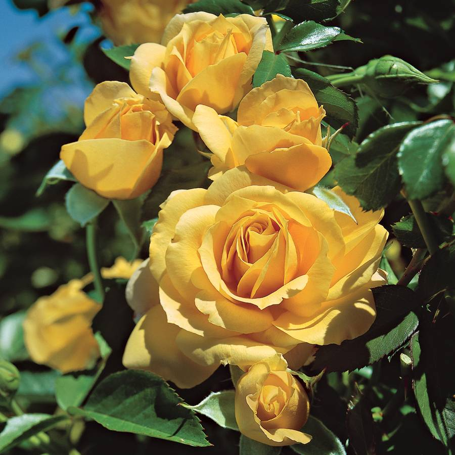 Julia Child Floribunda Rose For Sale At Jackson And Perkins