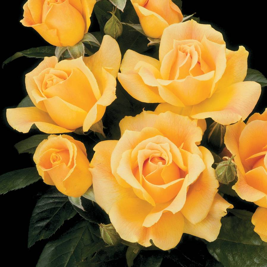 Easy Going™ Floribunda Rose
