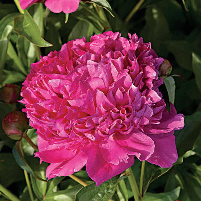 Paeonia 'Felix Crousse' Image