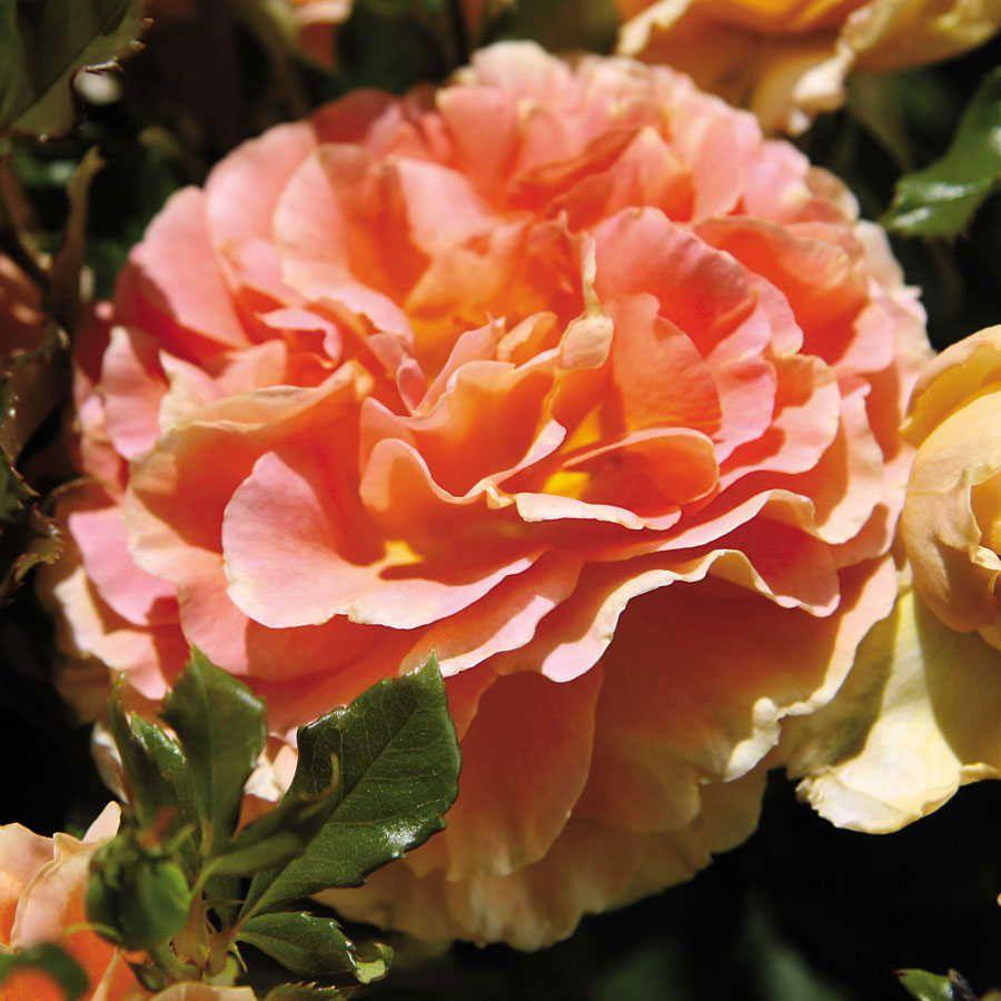 Caribbean Breeze Floribunda Rose Image