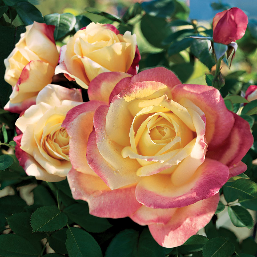 Bella Roma Hybrid Tea Rose