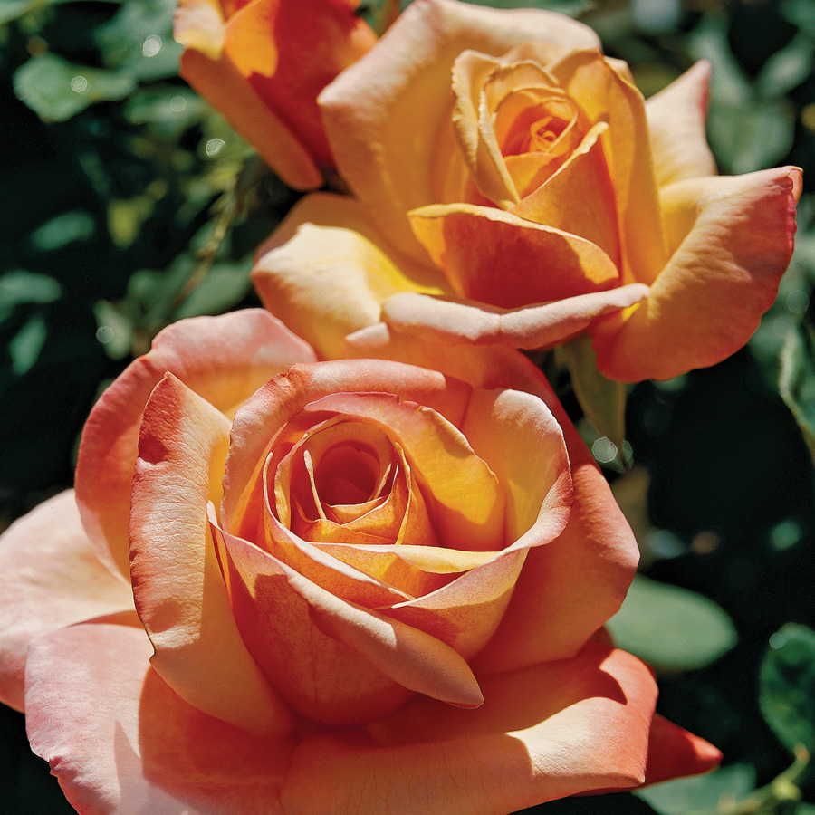 Tahitian Sunset™ Hybrid Tea Rose