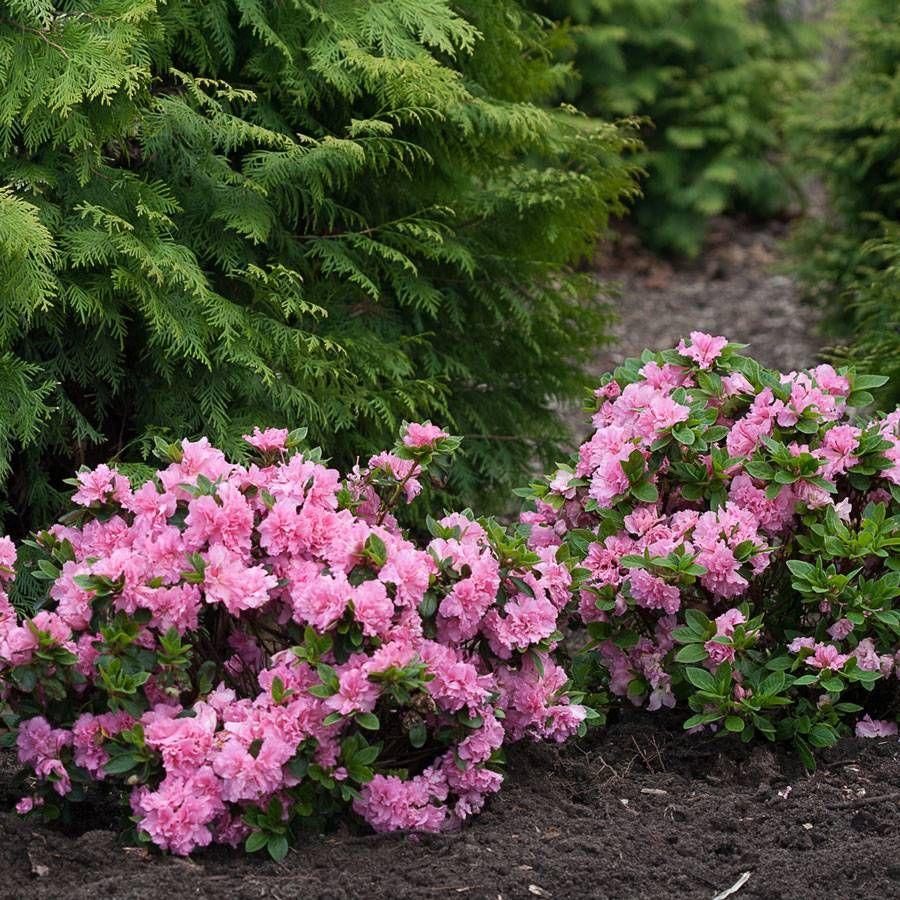 Bloom-a-Thon® Pink Double Azalea At Jackson & Perkins