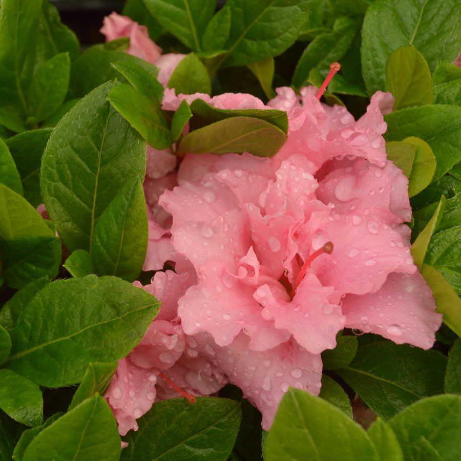 Bloom-a-Thon® Double Pink Azalea