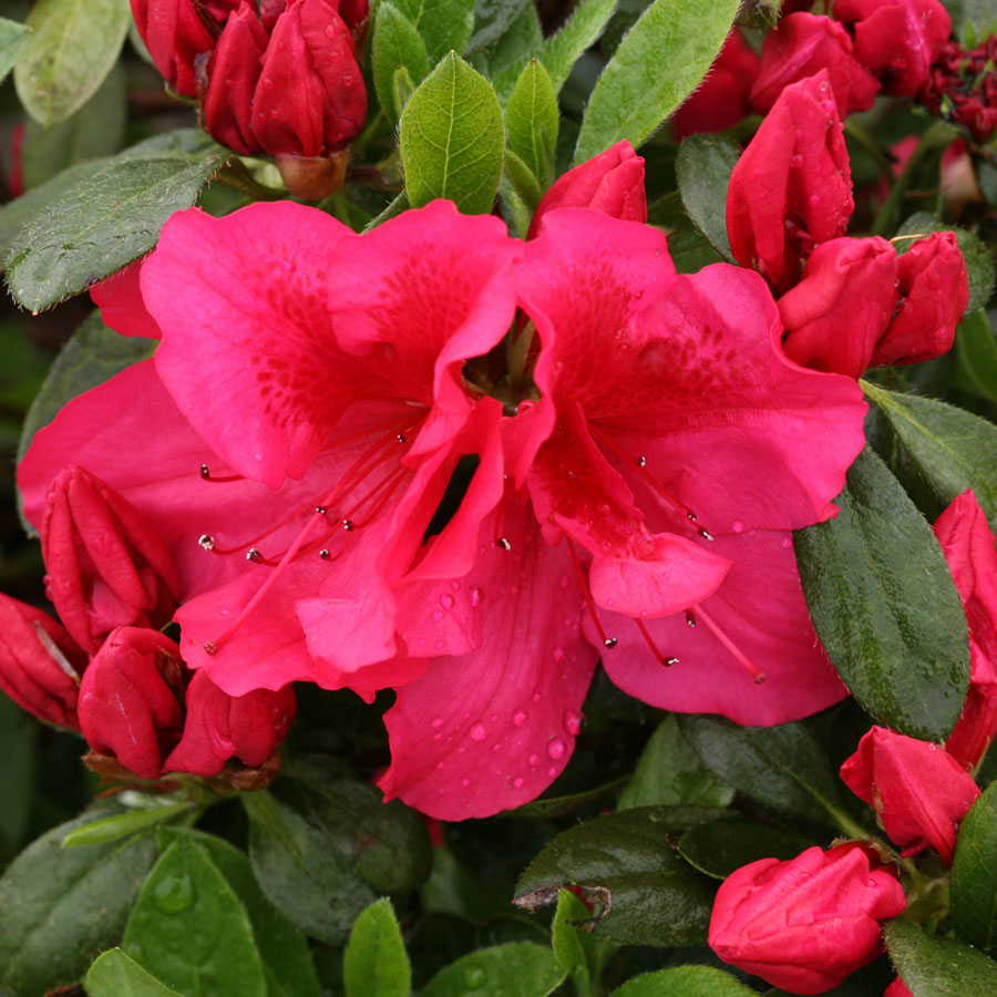 Bloom-a-Thon® Red Rhododendron at Jackson & Perkins