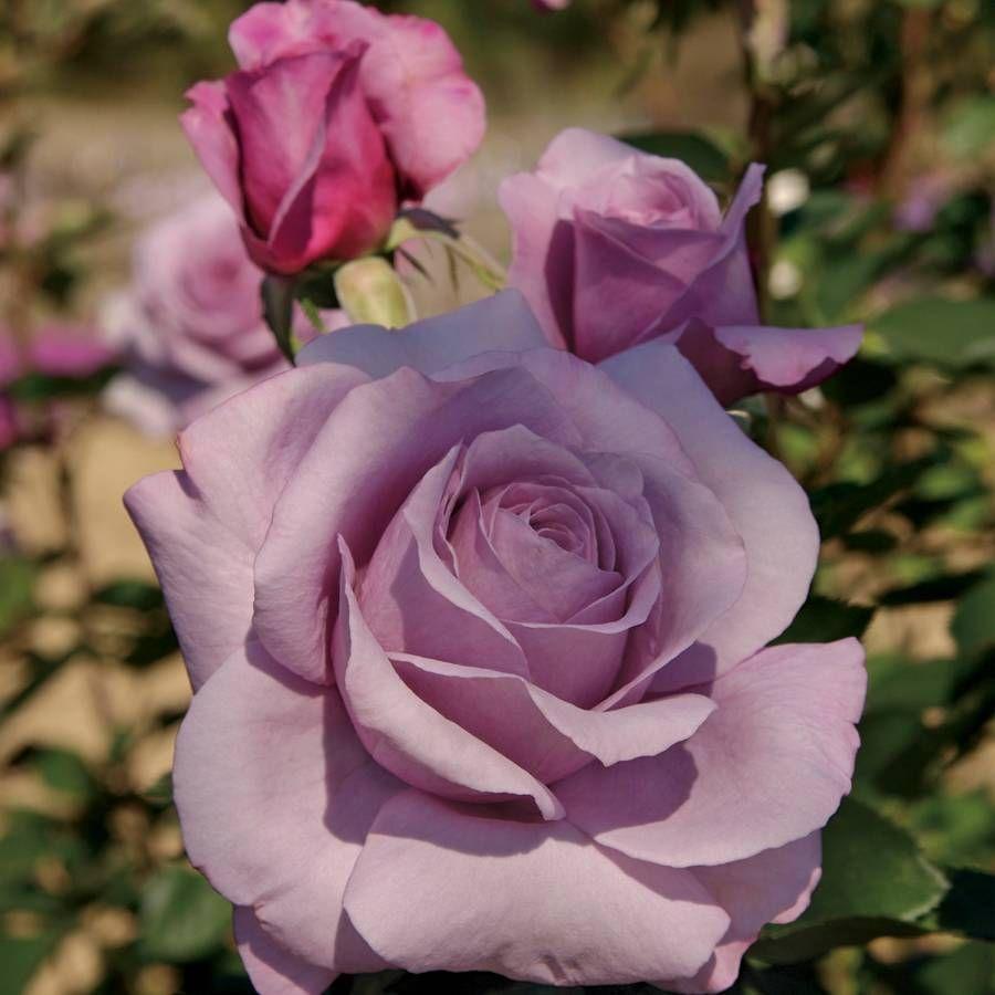 Big Bloom Roses Grandiflora Hybrid Tea Climbing Jackson Perkins