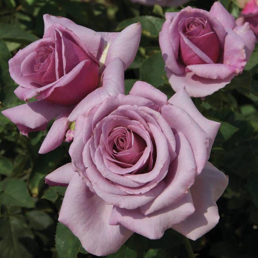 Sweetness Grandiflora Rose