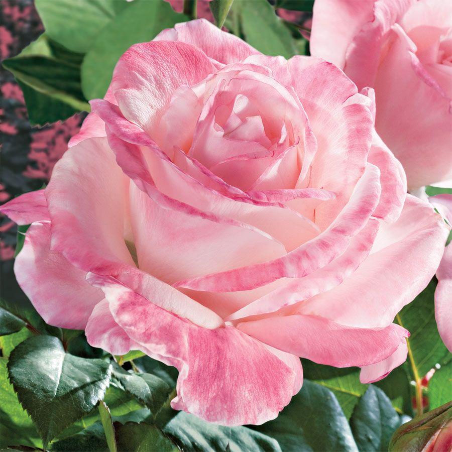 April in Paris Hybrid Tea Rose Image
