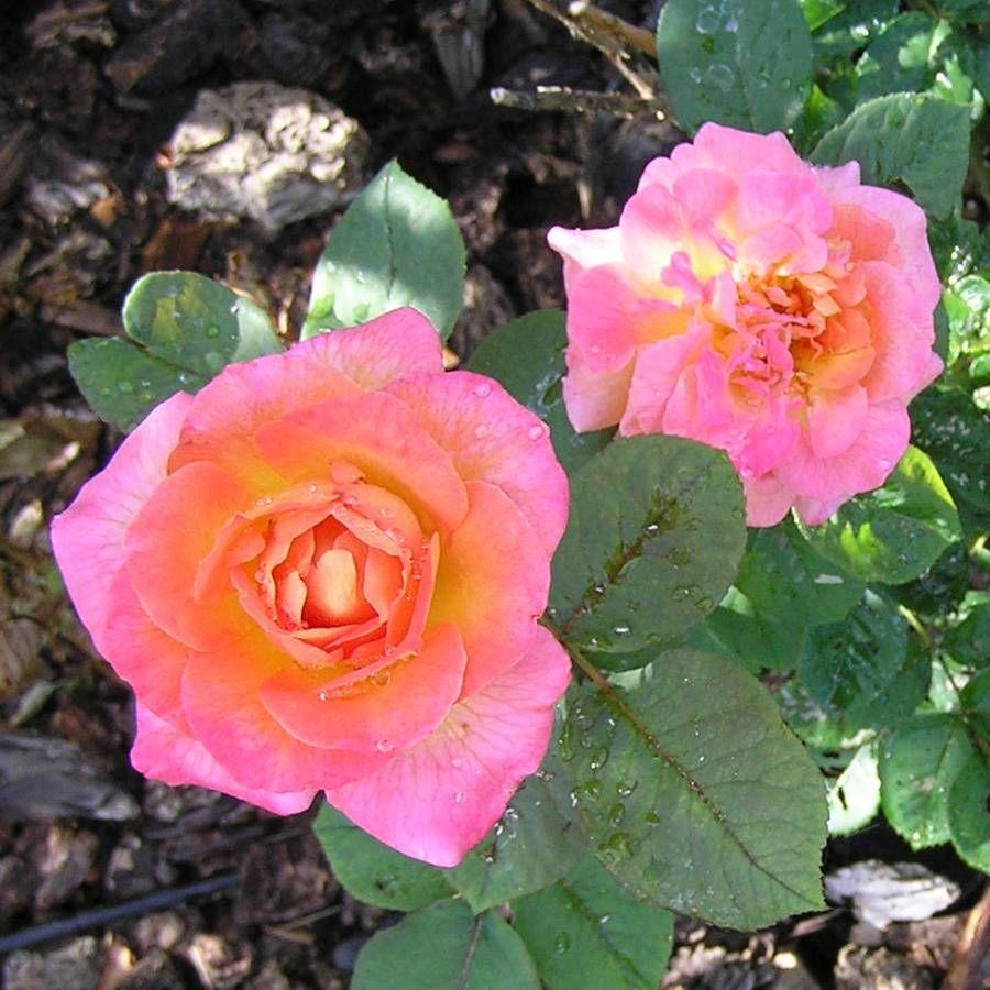 Mardi Gras Floribunda Rose