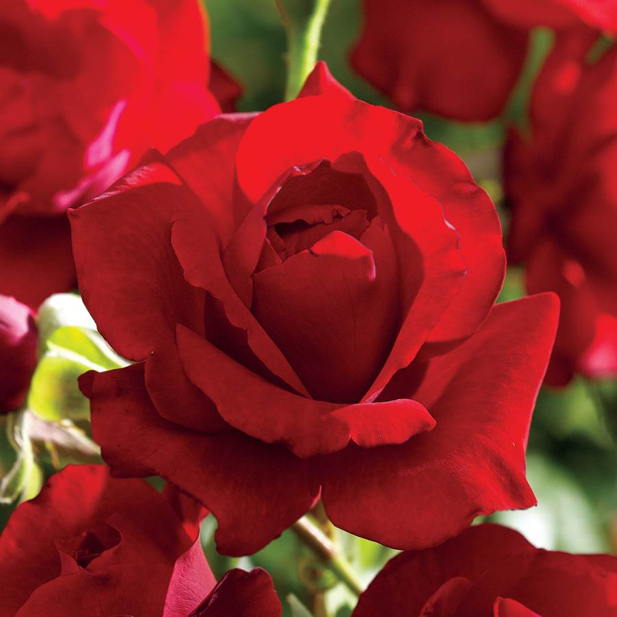 Black Cherry Floribunda Rose Image