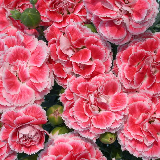 Dianthus scent first coral reef at jackson perkins 35276g coral reef dianthus mightylinksfo