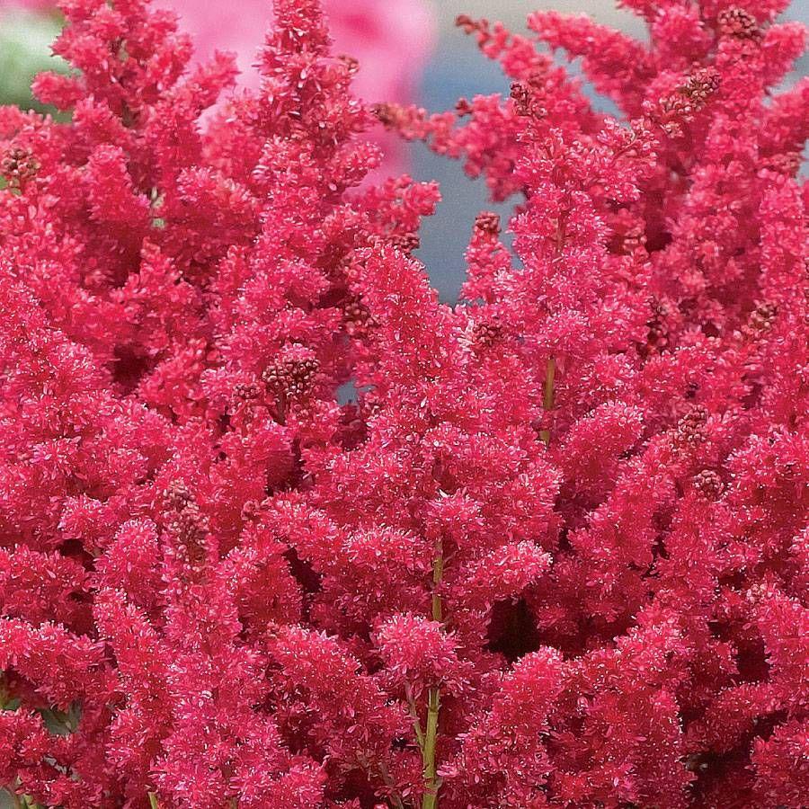 Fireberry False Spiraea