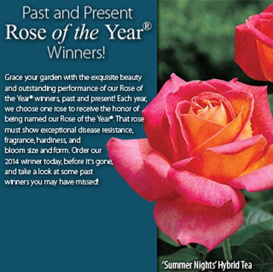 Summer Nights 36-inch Tree Rose