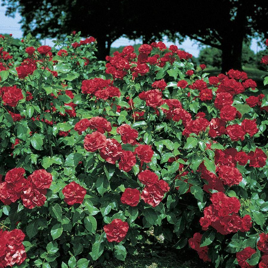 Sevillana 174 Shrub Rose Long Blooming Red Rose For Sale At Jp