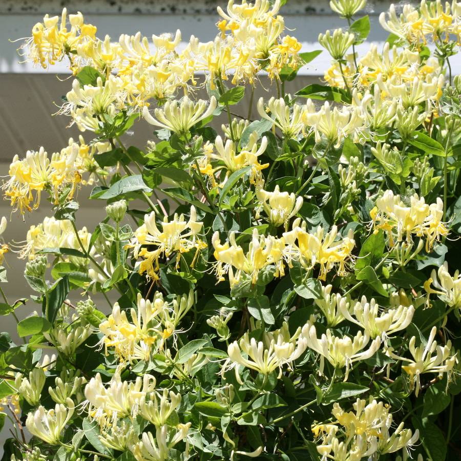 Scentsation Honeysuckle