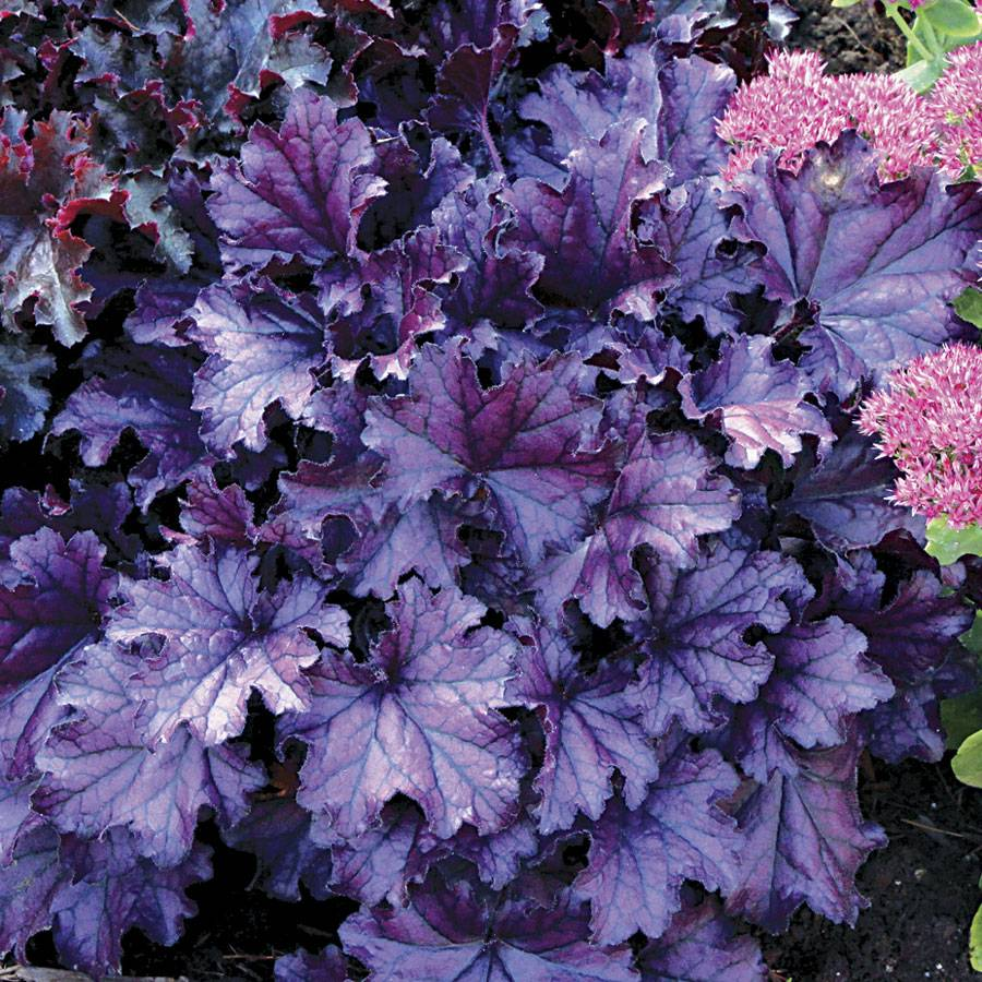 heuchera forever purple at jackson perkins. Black Bedroom Furniture Sets. Home Design Ideas