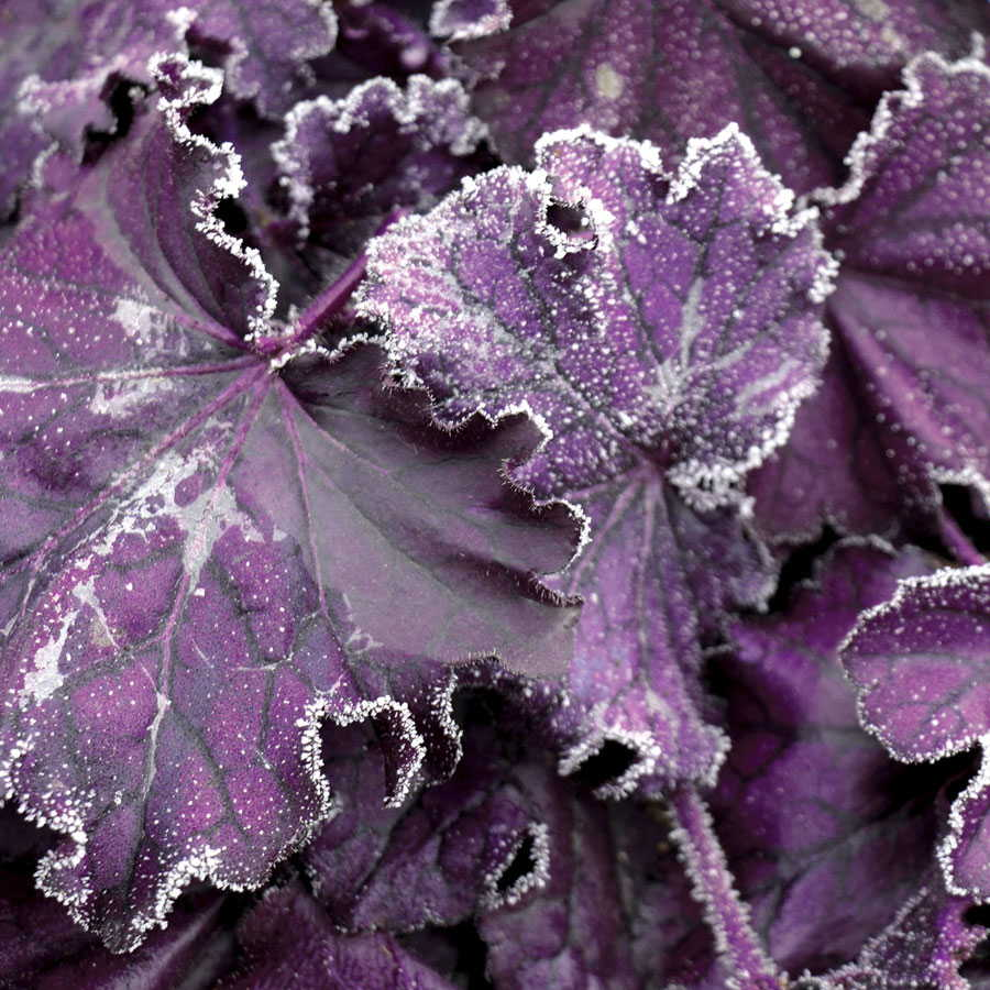 Forever Purple Coral Bells