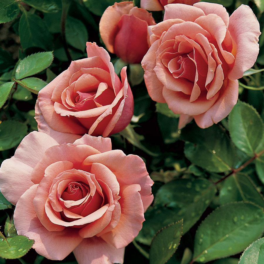 'Tournament of Roses' Grandiflora Rose