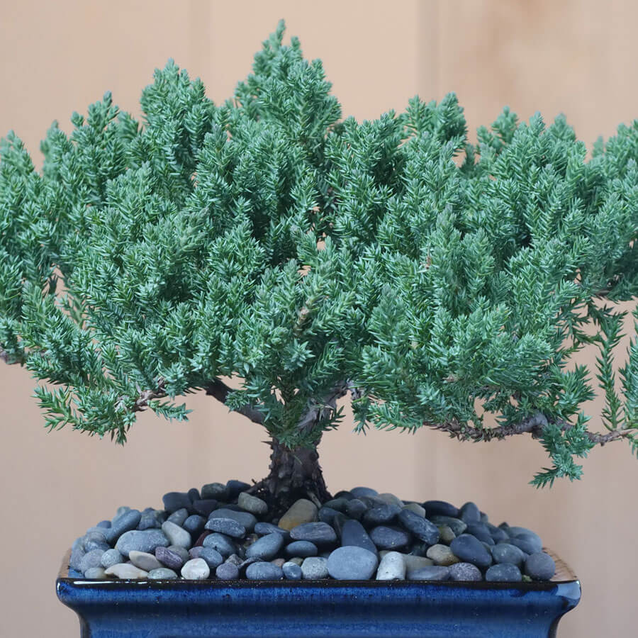 Juniper Bonsai in Cream Ceramic Container