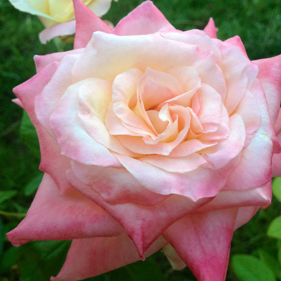 Elegant Lady Hybrid Tea Rose