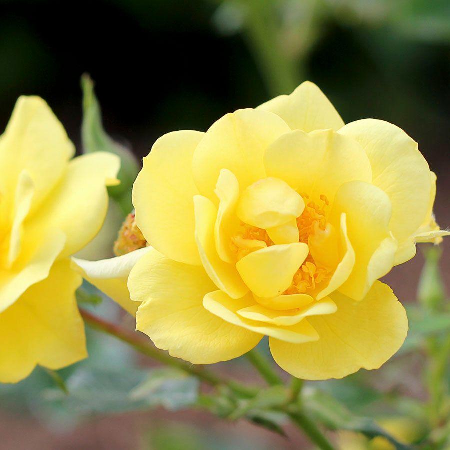 Rose Oso Easy® Lemon Zest