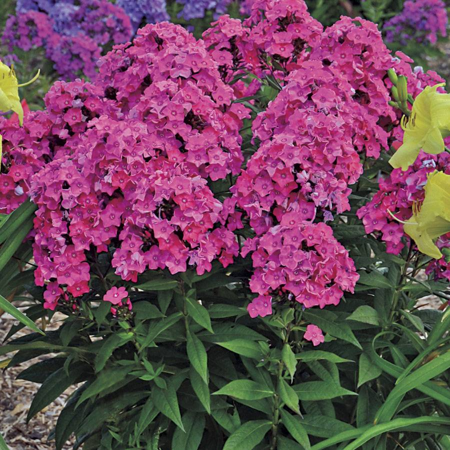 Coral Pink Tall Garden Phlox Glamour Girl At Jp
